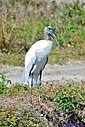 Wood Stork by Marilynne in Wildlife
