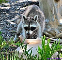 Racoon by Marilynne