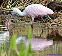 Immature Roseate Spoonbill by Marilynne in Wildlife
