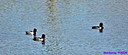 Ring Necked Duck by Marilynne in Wildlife