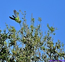 Monk Parakeet by Marilynne in Almost