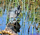 Coot by Marilynne in Wildlife