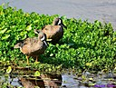 Blue winged Teal Ducks by Marilynne