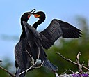 Cormorant by Marilynne in Wildlife