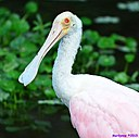 Roseate Spoonbill by Marilynne in Wildlife