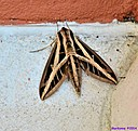 Banded Sphinx Moth by Marilynne in Critters