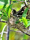 Red Winged Blackbird Nest by Marilynne in Wildlife