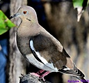 White Winged Dove by Marilynne in Wildlife