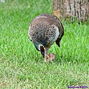 Peahen and Peachick by Marilynne in Wildlife