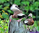 Black Bellied Whistling Duck by Marilynne