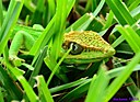 Cuban Lizard by Marilynne in Wildlife