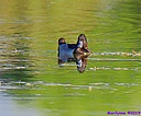 Ring-Necked Duck by Marilynne in Wildlife