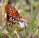 Gulf Fritillary by Marilynne in Critters