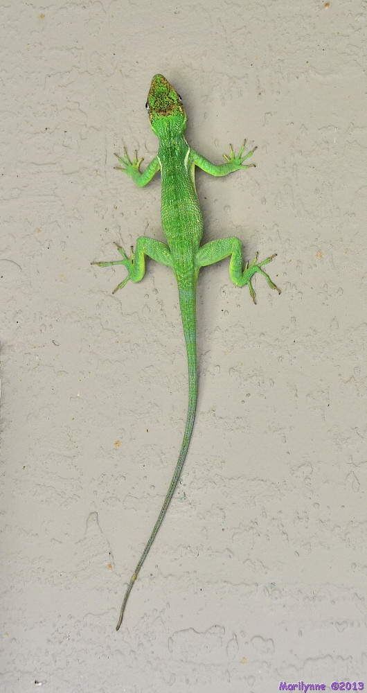 Cuban Lizard AKA Knight Anole by Marilynne in Wildlife