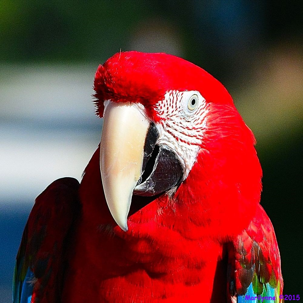 Macaw by Marilynne in Pets