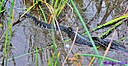 Florida brown banded water snake and baby by Marilynne in Wildlife