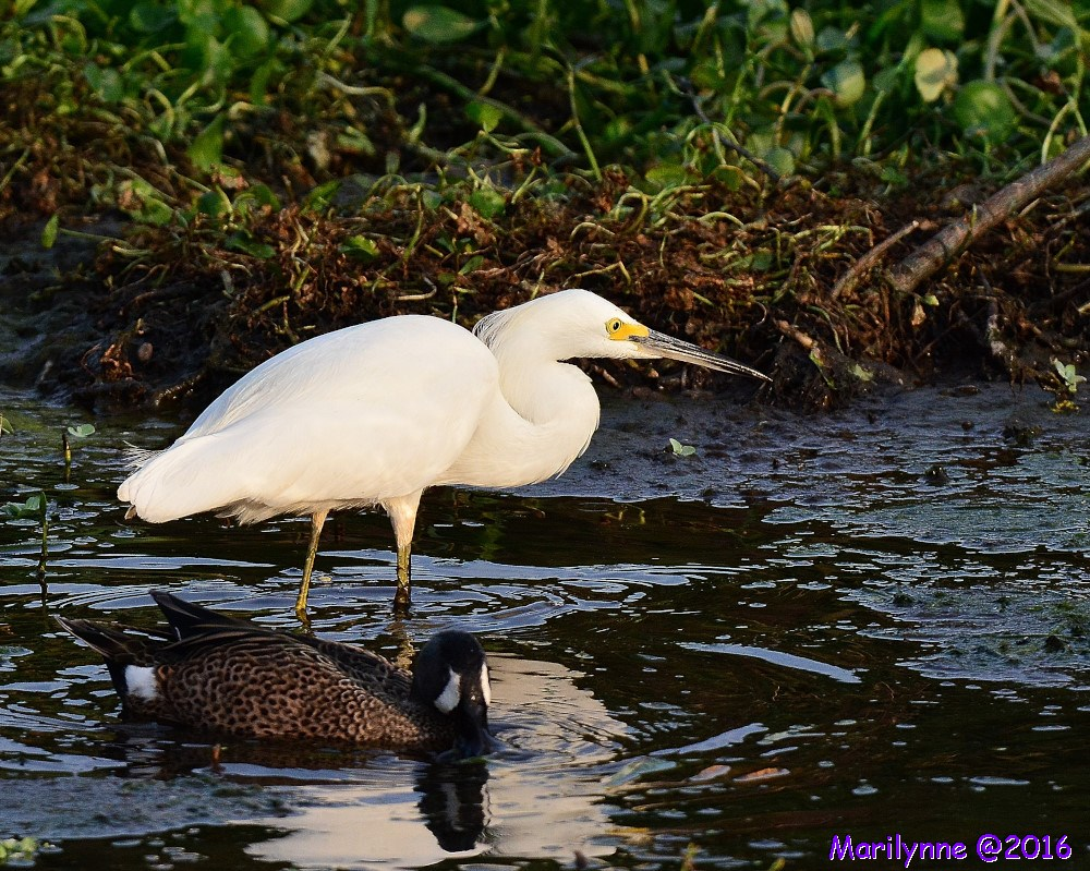 Male Blue Winged Teal Egret Coot by Marilynne in Wildlife
