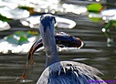 Great Blue Heron by Marilynne