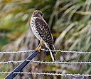 Immature Red Shouldered Hawk by Marilynne in Wildlife