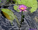 Purple Water Lily by Marilynne in Plants