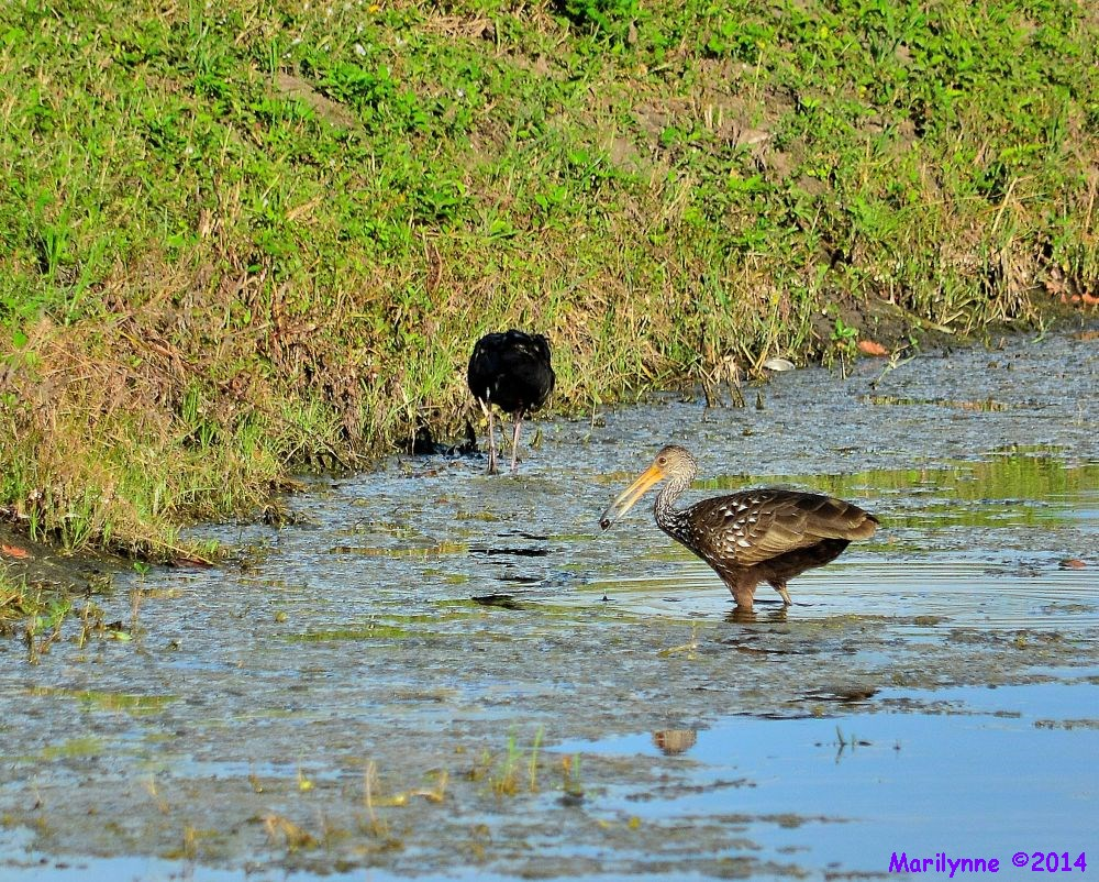 Limpkin Glossy Ibis by Marilynne in Wildlife