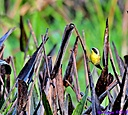 Common Yellowthroat by Marilynne