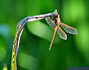 Red Comet Dragonfly by Marilynne in Critters