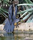 Anhinga and Turtle by Marilynne in Wildlife