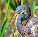 TriColor Heron by Marilynne in Wildlife