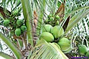 Coconut by Marilynne in Plants