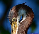 Immature TriColor Heron by Marilynne in Wildlife
