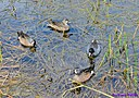 Blue winged Teal Ducks and a Coot by Marilynne