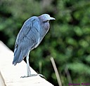 Little Blue Heron by Marilynne