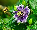 Passionflower by Marilynne in Plants