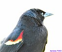 Male Red Winged Blackbird by Marilynne in Wildlife