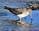 Sandpiper by Marilynne in Wildlife