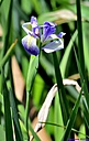 Iris by Marilynne in Plants