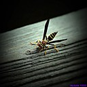 Wasp by Marilynne in Critters