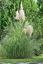 Pampas Grass by Marilynne in Plants