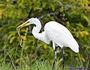 Great Egret Snake by Marilynne in Wildlife