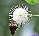 Buttonbush Flower by Marilynne