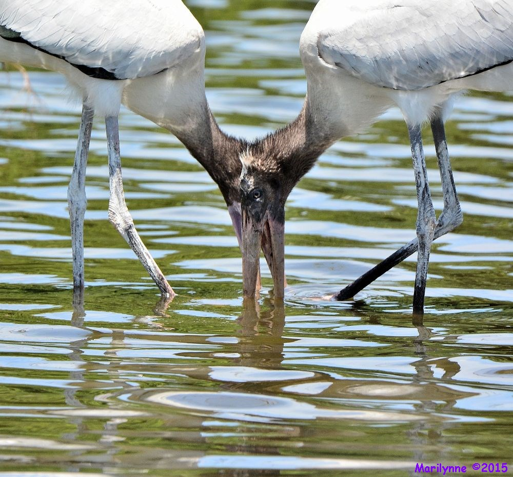 Juvenile Wood Stork by Marilynne in Wildlife
