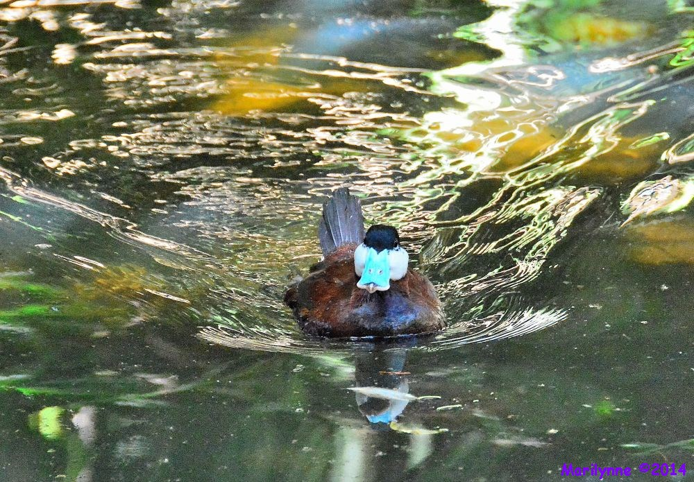 Blue Nosed Duck