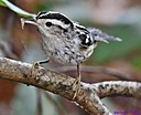 Black and White Warbler by Marilynne in Wildlife