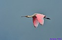 Roseate Spoonbill by Marilynne in Almost