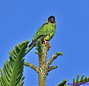 Black Hooded Parakeets by Marilynne in Wildlife