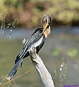 Female Anhinga by Marilynne in Wildlife
