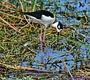 Black Necked Stilt by Marilynne
