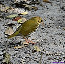 Wood Thrush by Marilynne in Wildlife