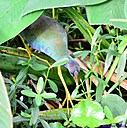 Immature Purple Gallinule by Marilynne in Wildlife